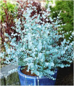 Eukalyptus Azura original