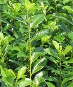 Kirschlorbeer Pflanze