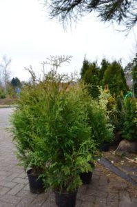 Brabant Lebensbaum Thuja