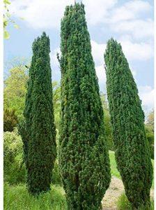 Grüne -Säuleneibe