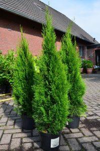 Smaragd Lebensbaum Thuja