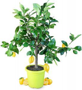 Meine Orangerie Zitronenbaum Piccolo