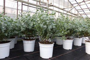Eucalyptus Gunni Gunnii Busch Kugel